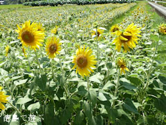 北島チューリップ公園 向日葵 ひまわり 2010