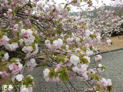 徳島県板野郡上板町 岡田製糖所 八重桜 2017