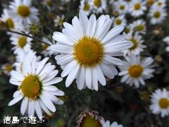 徳島県 神山町 岳人の森 ナカガワノギク 那賀川野菊 2015