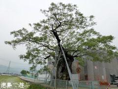 野神の大センダン 2011