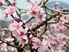 徳島県鳴門市大麻町 桃の花 2016