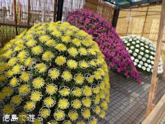 鴨島 菊人形 菊花展 2011