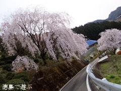 吉良のエドヒガン桜 周辺 しだれ桜 2013