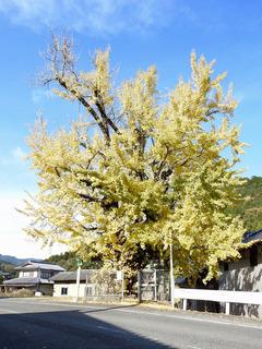 徳島県阿波市市場町大影 境目のイチョウ 紅葉 2017