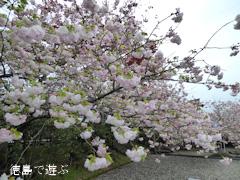 徳島県板野郡上板町 岡田製糖所 八重桜 2015