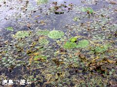徳島県阿波市 浦之池 オニバス 2014