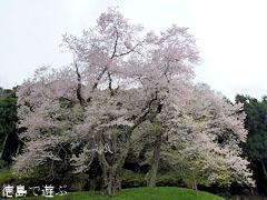 吉良のエドヒガン桜 2011