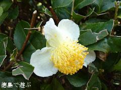 神山 茶畑 茶の花 2011
