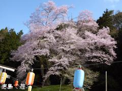 徳島県美馬郡つるぎ町貞光 吉良のエドヒガン桜 2015