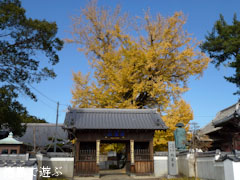 地蔵寺のイチョウ 2011