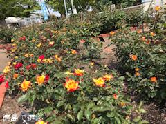 徳島県板野郡藍住町 藍住町バラ園 春のバラ祭り 2017
