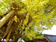 徳島県名西郡石井町 天神のイチョウ 2016