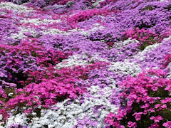 八久保の芝桜 2012