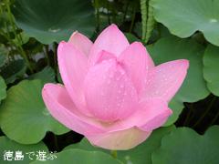 徳島県鳴門市 れんこん レンコン 蓮の花 2014