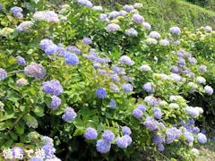 相生森林文化公園 あいあいらんど 紫陽花 あじさい