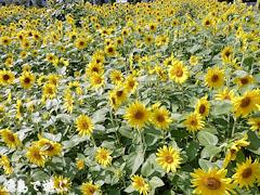 北島チューリップ公園 向日葵 ひまわり