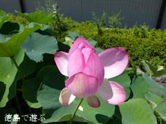 徳島県立埋蔵文化財総合センター 古代蓮 オオガハス