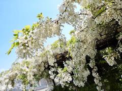 徳島県鳴門市里浦町里浦 観音寺 あま塚 白色の大フジ 2017