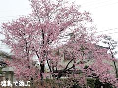 原田家住宅 蜂須賀桜