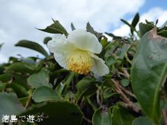徳島県名西郡神山町 茶畑 茶の花 2016