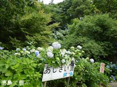 相生森林文化公園 あいあいらんど に 紫陽花 あじさい 2011