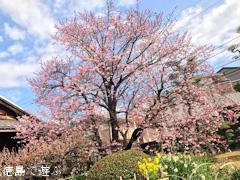 徳島県徳島市かちどき橋 原田家住宅 蜂須賀桜 2017