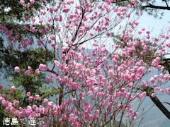 徳島県 神山町 上勝町 アケボノツツジ 見頃 2015