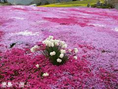徳島県美馬市脇町 広棚の芝桜 2014