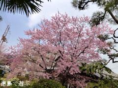 原田家住宅 蜂須賀桜 2013