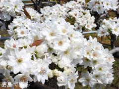 徳島県鳴門市 梨の花 2017