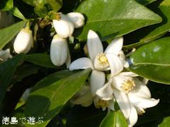 すだち 酸橘 花 2012
