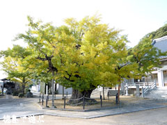 長谷寺のオハツキイチョウ