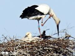 徳島県鳴門市大麻町 コウノトリ 鸛 2016年3月19日 に 産卵 を 推定