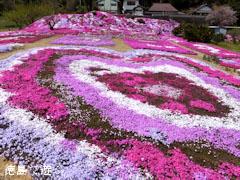 曽江名の芝桜 八久保の芝桜 2013