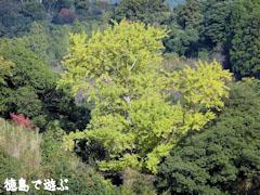 坂本のオハツキイチョウ