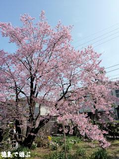 武家屋敷 原田家住宅 蜂須賀桜