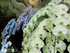 あんみつ館 お蘭見広場 秋の洋蘭展 2013