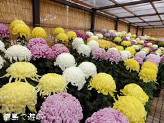 徳島県吉野川市 鴨島大菊人形 四国菊花品評会 2014