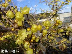 徳島県文化の森総合公園 ロウバイ 蝋梅 2013