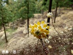 徳島県名西郡神山町上分 ミツマタ 2014
