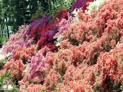 徳島県名西郡神山町 上分花の隠里 ツツジ 2016
