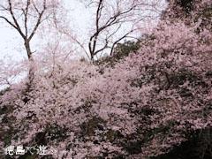 吉良のエドヒガン桜 2013