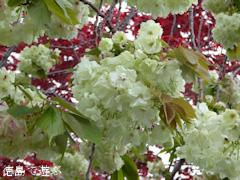 徳島県板野郡上板町 岡田製糖所 ウコン桜 2015