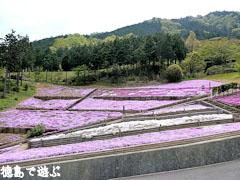 加茂農村公園 芝桜