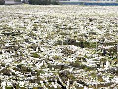 徳島県鳴門市 梨の花 2015