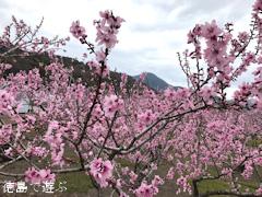 徳島県鳴門市大麻町 桃の花 2017