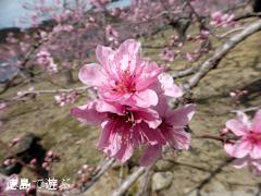 徳島県鳴門市大麻町 桃の花 2014