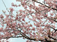 徳島県鳴門市大麻町 大麻椿園 河津桜 カワヅザクラ 2016