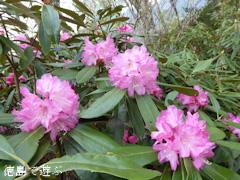 徳島県名西郡神山町 四国山岳植物園 岳人の森 シャクナゲ 2014