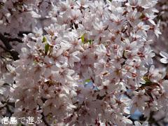 桜堂 ひょうたん桜 2011